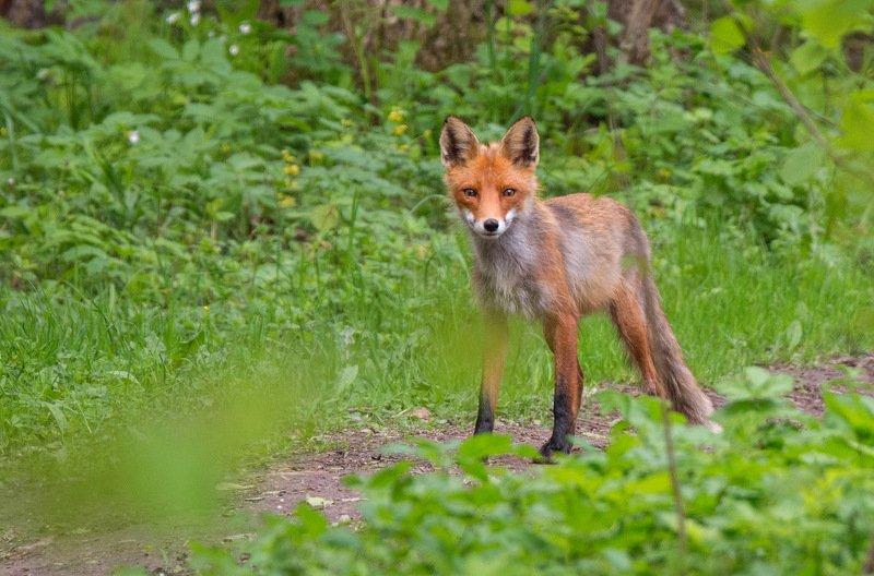 животные лисица Патрикеевнаphoto preview
