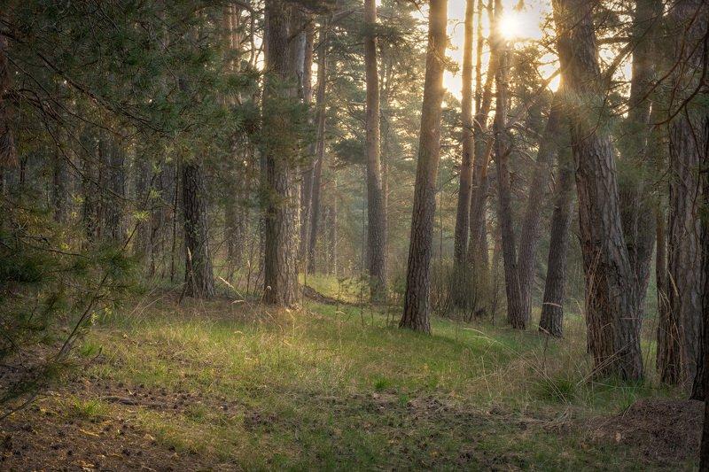 дубна, лес, сосны, пейзаж, солнце, туман, утро Майский лес фото превью