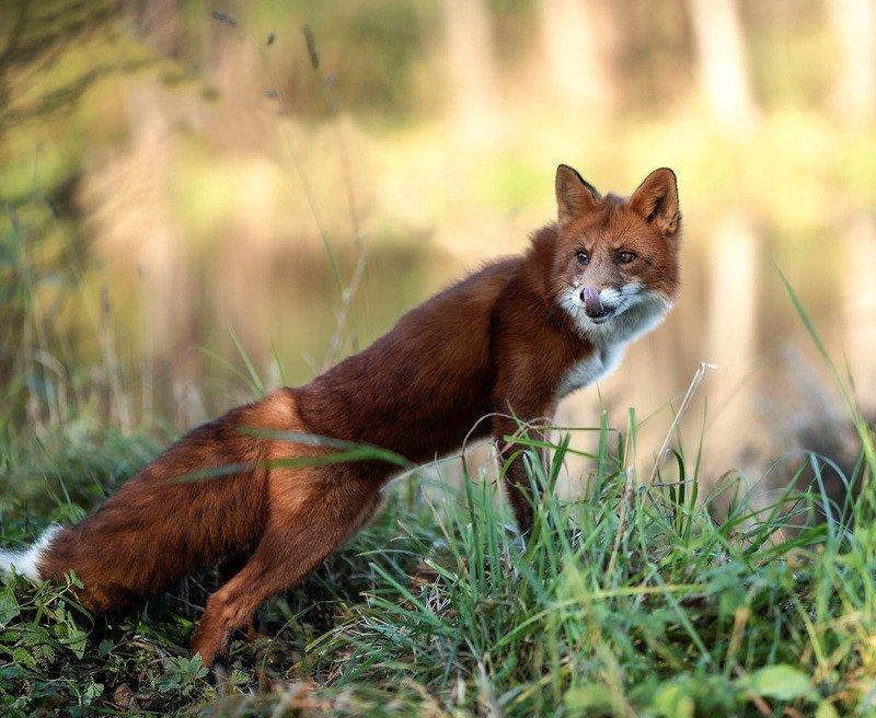 лис, рыжий, красавец, охотник,лес, природа, foxy, beautiful,hunter, nature, woodland Рыжий охотникphoto preview