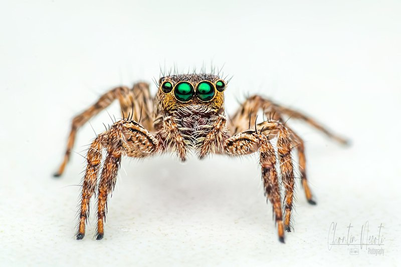 spider, jumping, macro, small, nature, natural, outdoor, eyes, green, legs, prey, close up Spiderphoto preview