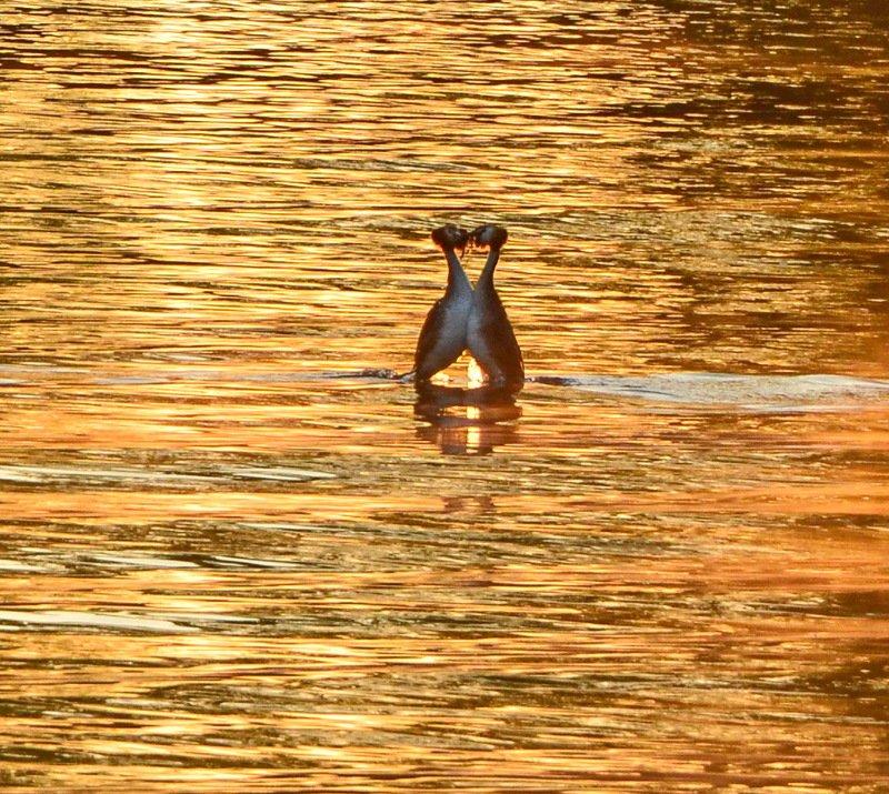 утро, рассвет, восход, весна, апрель, утки, чомга Поцелуй на рассветеphoto preview