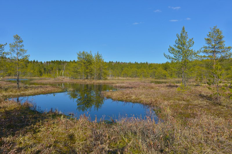 Зеркальце болотноеphoto preview