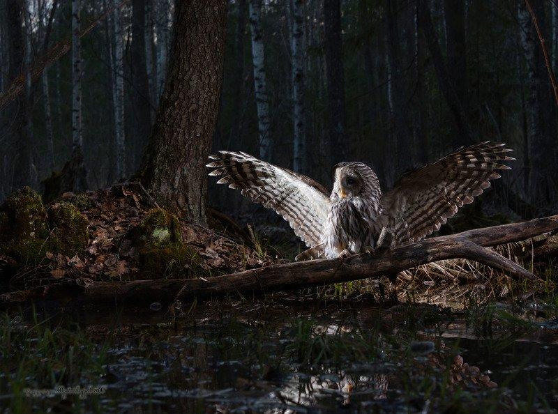 неясыть длиннохвостая, ural owl, сумерки, лес Неясыть мышкующая в пойменном лесуphoto preview