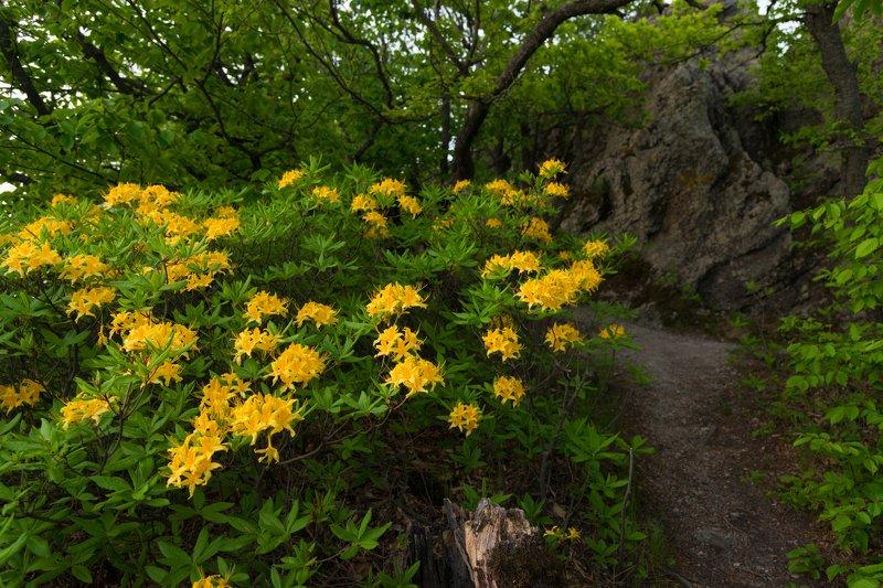 рододендрон, цветы, тропинка,горы По горной тропинке с желтыми рододендронамиphoto preview