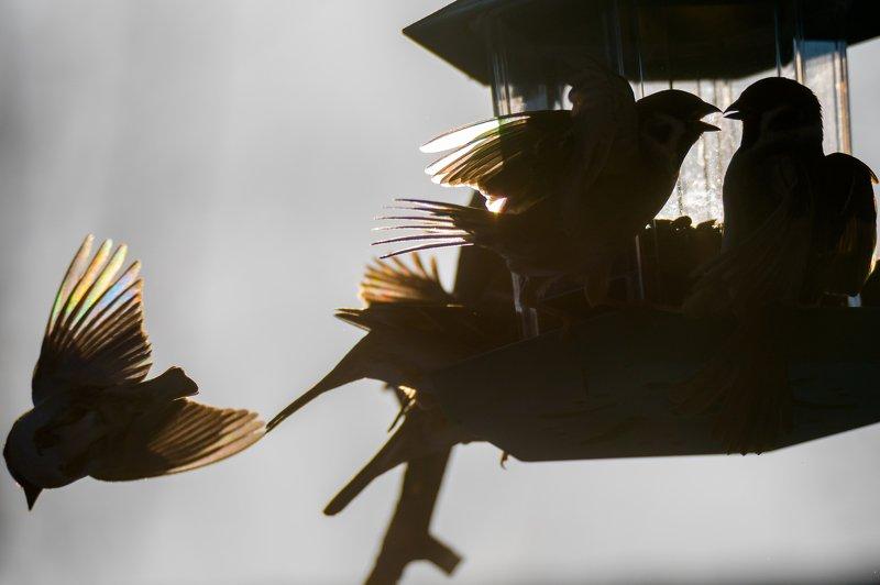 полевой воробей, воробьи, драка воробьёв, разборки воробьёв, воробьи на кормушке, силуэты птиц, крылья, солнечно, зима, кормушка для птиц Потасовкаphoto preview