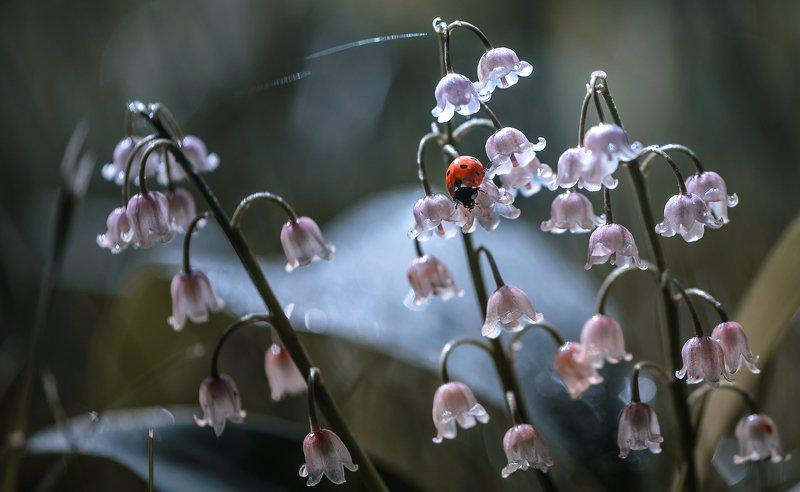 природа, макро, весна, цветы, розовый ландыш, насекомое, жук, божья коровка Майские звоныphoto preview