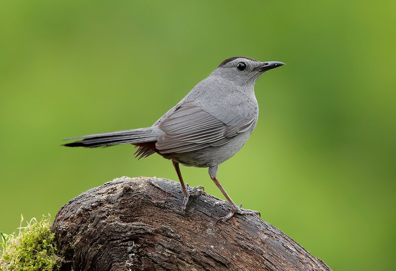 gray catbird, кошачий пересмешник,  пересмешник, catbird Gray Catbird - Кошачий пересмешник.photo preview