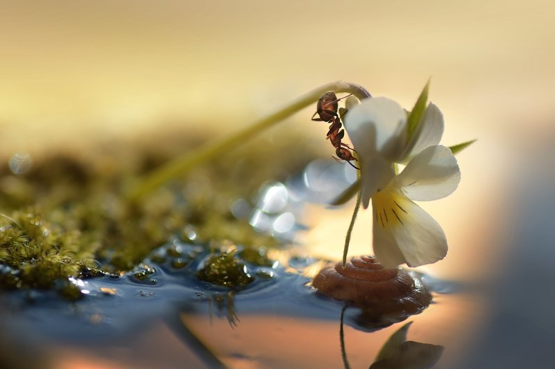 макро, муравей, закат, никон, тамрон, теплый свет На закате с нежностью играя...photo preview