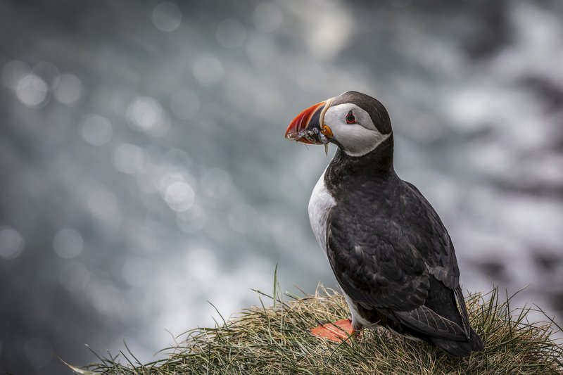 Iceland Mrs.Puffin photo preview