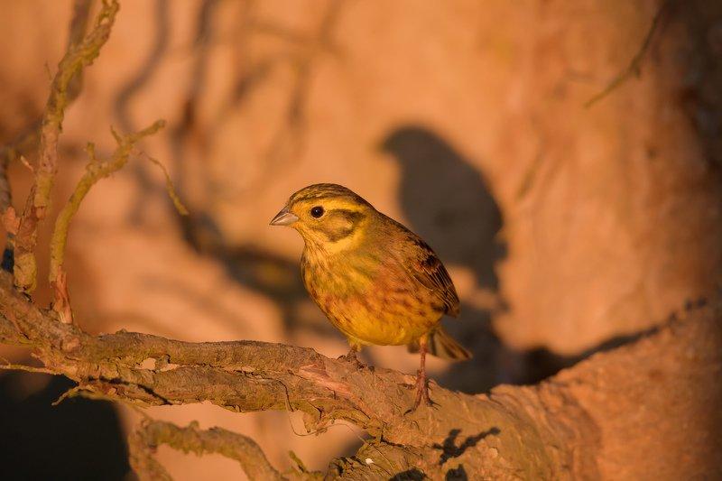 оранжевое небо, обыкновенная овсянка, жёлтая птица, оранжевый, песок, выворот, выворотень, тень птицы, корень, птица на корне,закат, закатный свет, emberiza citrinella Тень на закатеphoto preview