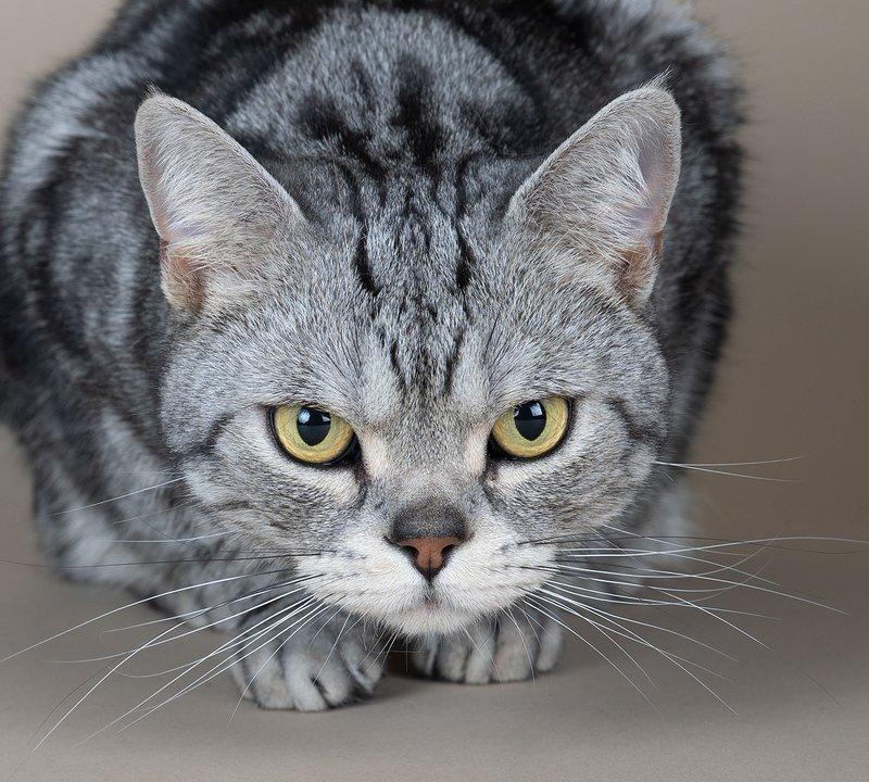 сat, кошка, животные, кошки,американский короткошерстный кот, american shorthair cat Маркиз. Американский короткошерстный кот - American shorthair catphoto preview