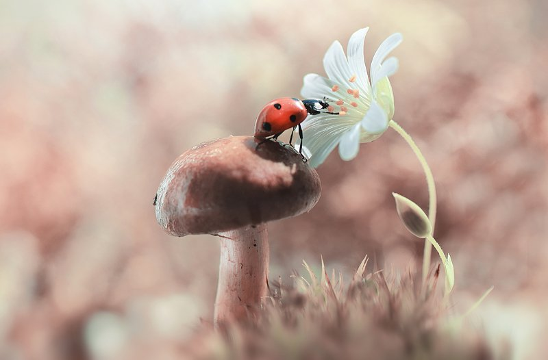 макро, божья корока, цветы, нежность Чем пахнут цветы?photo preview