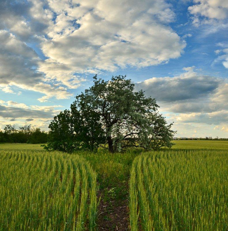 поле, пшеница, небо, облака, дерево Шатёр в пшеничном полеphoto preview