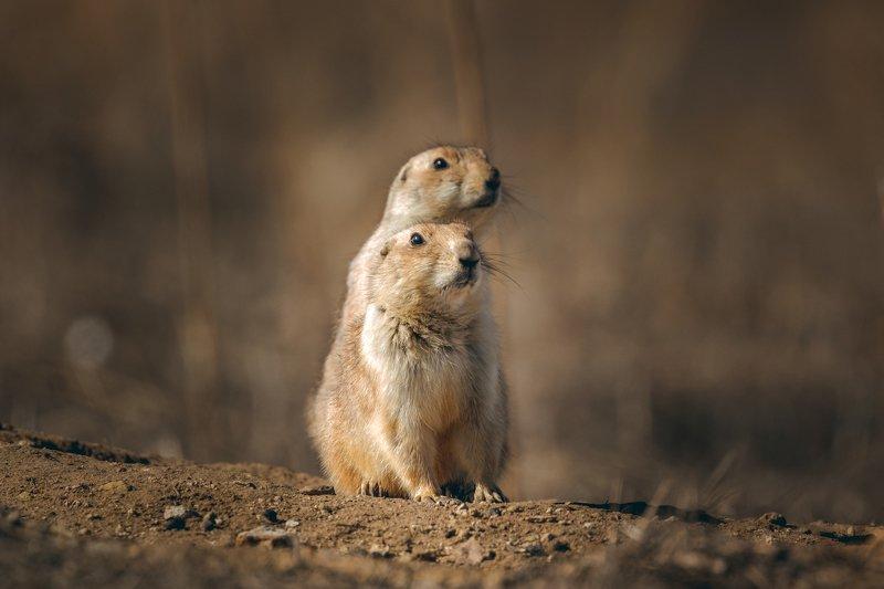 Prairie dogsphoto preview