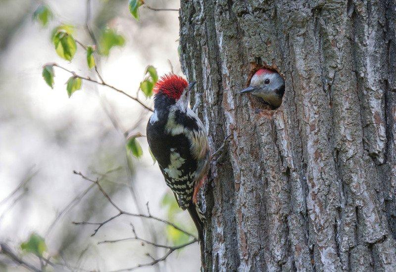 птица средний дятел Мадам, у меня волосы дыбом от вашей красоты))photo preview