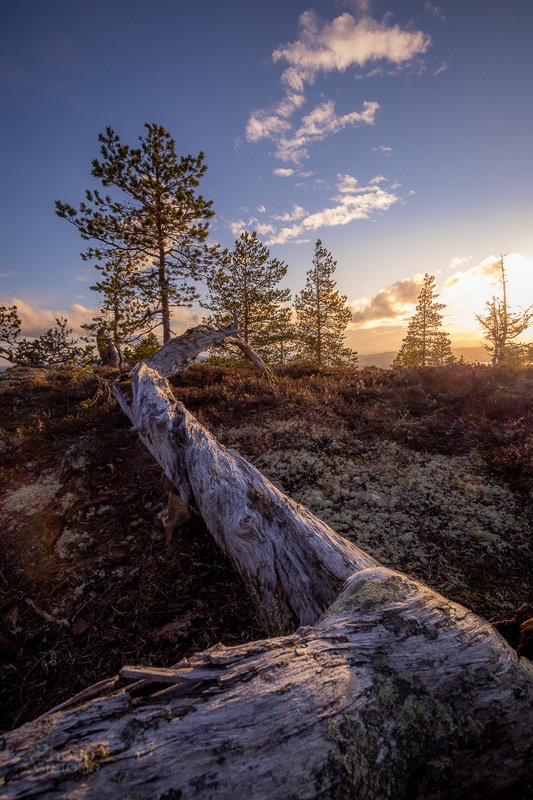 tree,trees,boreal,mountains,norway,norwegian,scandinavia,scandinavian,nature,natural,sunset, High mountain boreal forestphoto preview