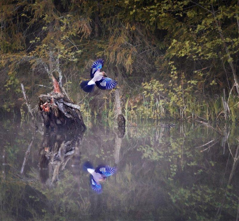 сойка, птица, bird watching, птицы, красивая, отражение, природа Сойкаphoto preview