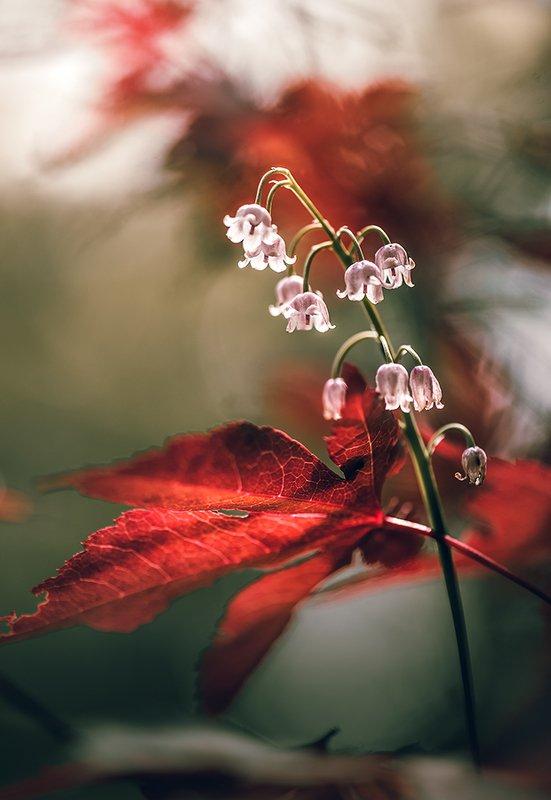 природа, макро, весна, цветы, ландыш, клен японский Как ландыш к клёну в гости ходилphoto preview