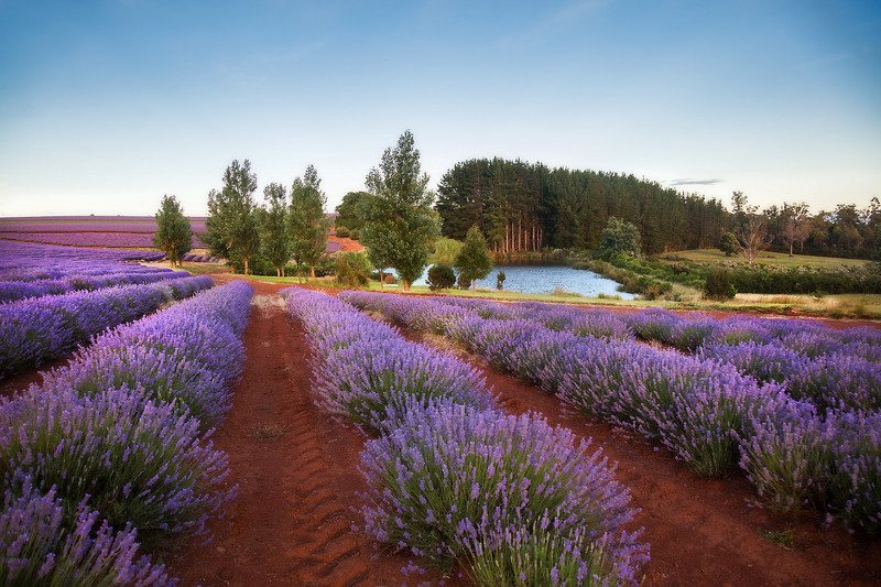 тасмания, лаванда, австралия, tasmania, lavender Лавандовые поля Тасманииphoto preview