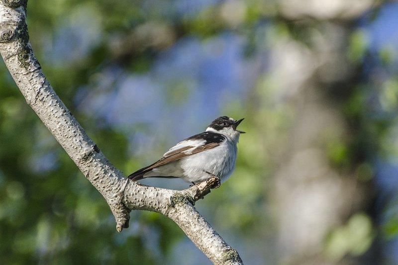 птица, мухоловка - белошейка, самец Песня белошейкиphoto preview