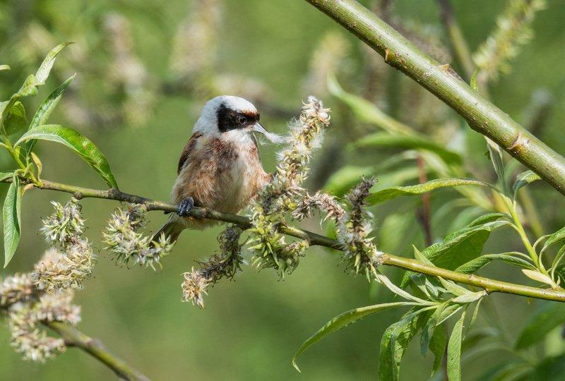 птица ремез Весенние хлопоты ремезовphoto preview