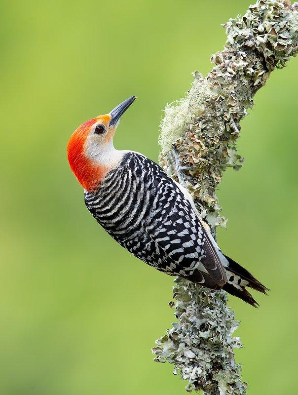 дятел, каролинский меланерпес, red-bellied woodpecker, woodpecker Red-bellied Woodpecker male -Каролинский меланерпесphoto preview