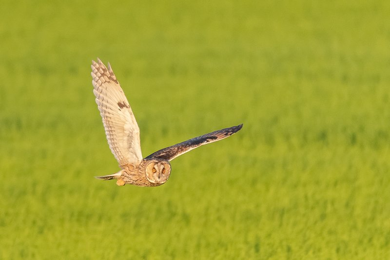 tawny owl; chouette hulotte; nightbird; wildlife; owl Chouette hulotte à la chassephoto preview