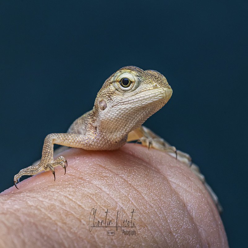 Leiolepis, animal, wildlife, macro, small, close up, nature, natural, outdoor, eyes, beauty, beautiful, stock, image, hand, black, wallpaper Leiolepisphoto preview