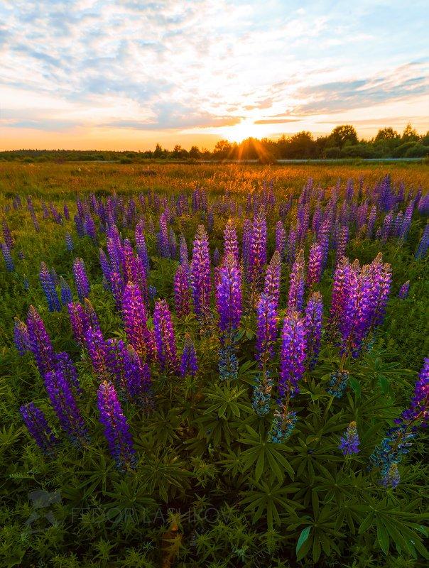 ленинградская область, закат, цветы, люпин, люпины, луг, лето, цветущее, Люпины на закате.photo preview