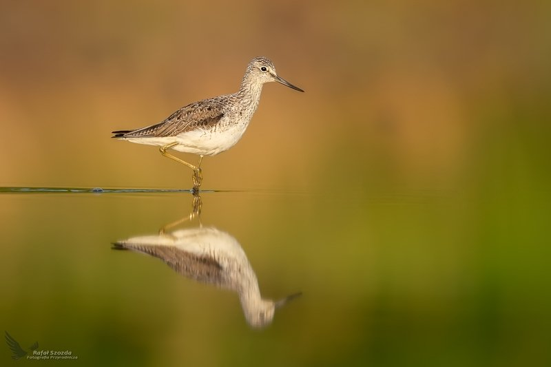 birds, nature, animals, wildlife, colors, springs, sunlight, lake, nikon, nikkor, mirror, lubuskie, poland Kwokacz, Common Greenshank (Tringa nebularia) ... 2020r фото превью