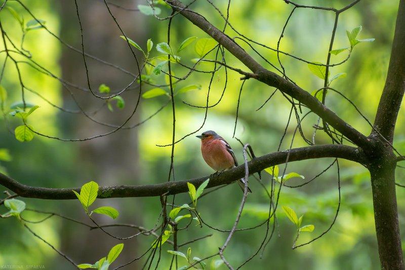 птицы, весна, лес, природа Зябликphoto preview