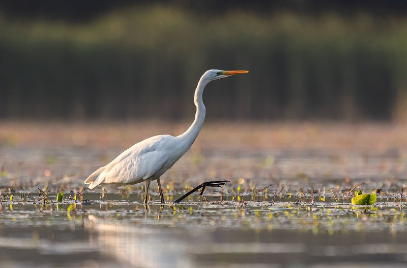 Czapla biała (Egretta alba)photo preview