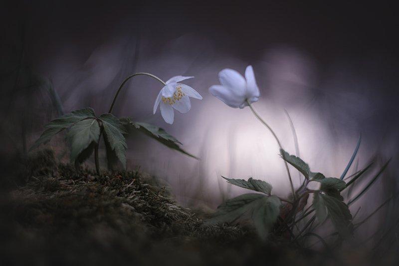 украина, коростышев, природа, лес, волшебство, дружба, жизнь, любовь, магия, макро, нежность, прикосновения, природа, притяжение,свет, сказка, тишина, ветреница, макро красота, единство, фотограф, чорный \