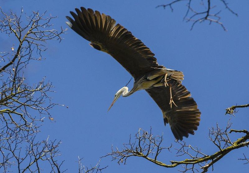 птица, серая цапля Цапля расправляет крыльяphoto preview