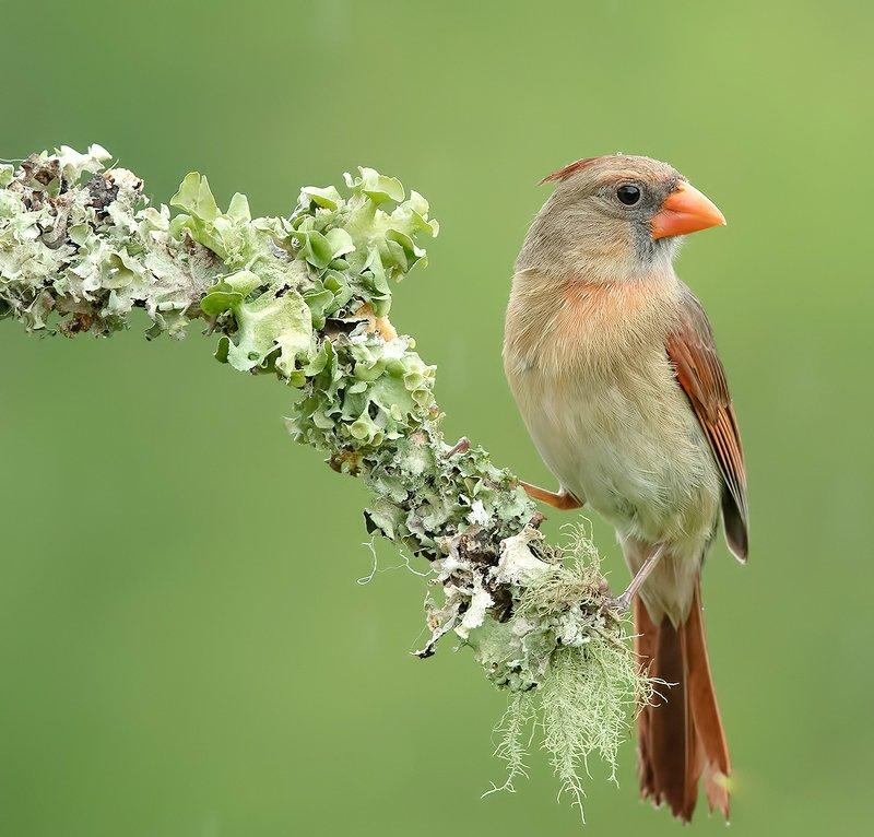 красный кардинал, northern cardinal, cardinal,кардинал Female Northern Cardinal - Самка. Красный кардинал фото превью