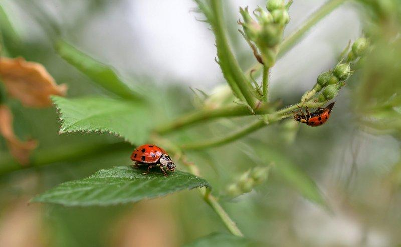 макро,природа,насекомые,божья коровка,растения, Коровки бывают разные: оранжевые, желтые, красные...photo preview