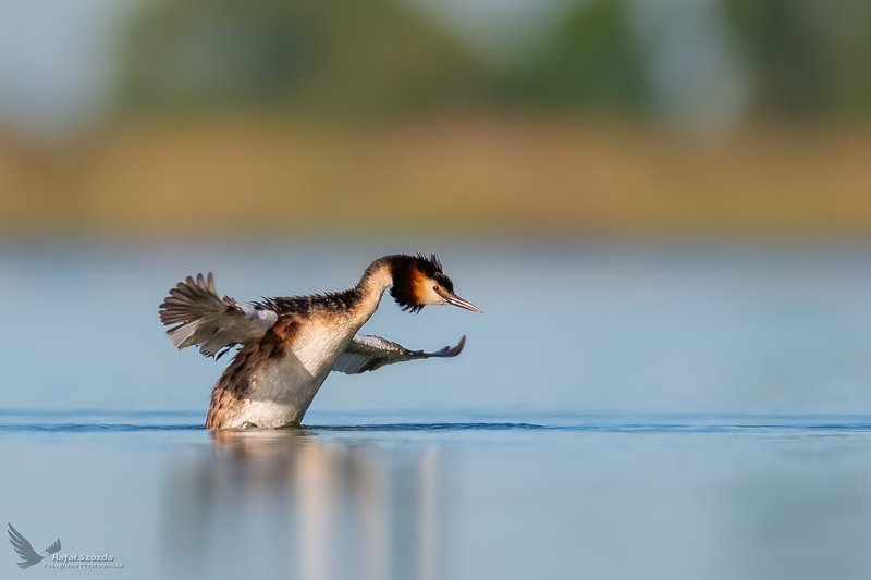 birds, nature, animals, wildlife, springs, wings, lake, nikon, nikkor, lubuskie, poland Perkoz dwuczuby, Great Crested Grebe (Podiceps cristatus) ... 2020rphoto preview