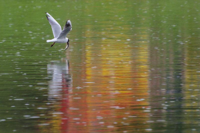 птица, чайка озёрная Рыбацкое счастьеphoto preview