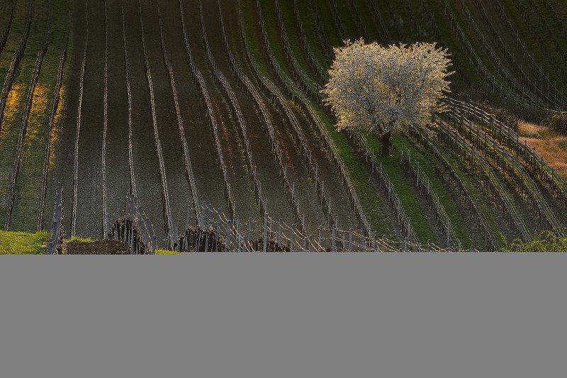 южная моравия, чехия, весна,  south moravia, czech, south moravian Цветущая вишня в светуphoto preview