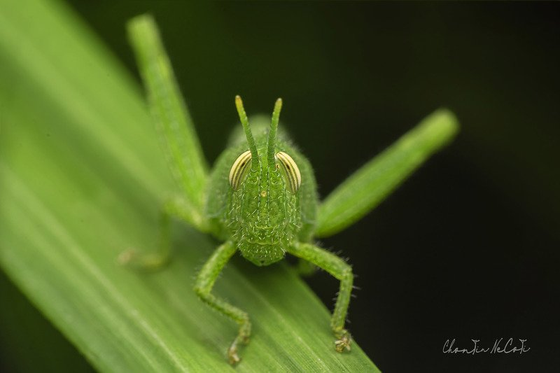 grass, hopper, green, macro, leaf, background nature, animal summer, grass, natural, insect close up, closeup, life color, meadow, white plant, detail, wildlife, garden, environment, bug beautiful, jump, blurrypest, brown, one, spring, outdoor, day, vieww photo preview