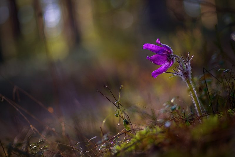 прострел, сон-трава, весна, цветы, лес Просто... про сон-траву..)photo preview