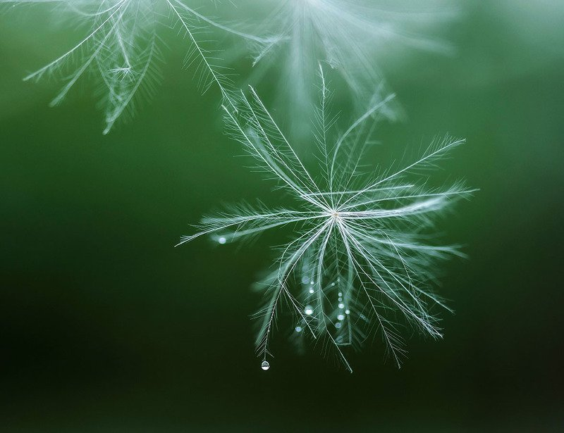 одуванчики,семена,полёт,парашютик,макро,flower,dandelion,flying,magic,nature Летние снежинкиphoto preview