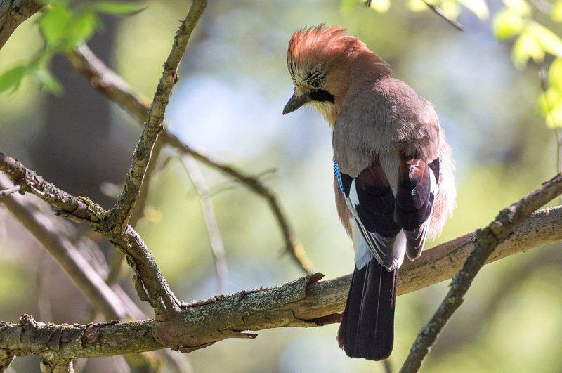 птица сойка Лесная красавицаphoto preview