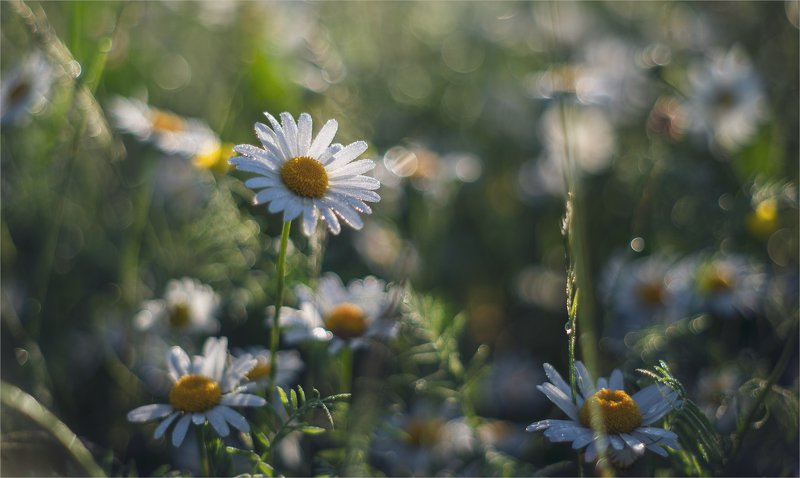 about daisies...photo preview
