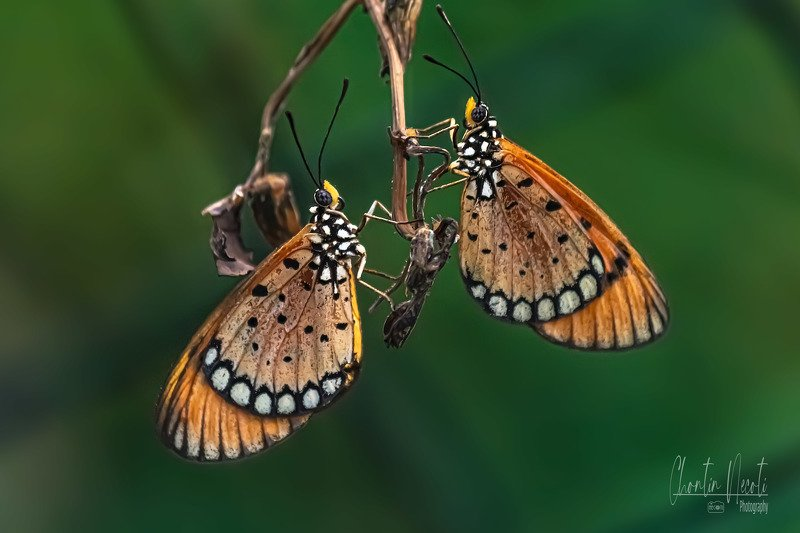 same, species, summer, time, season, happens, butterflies, color, plant, species, brown, bug, butterfly, close, colorful, detail, environment, eye, flora, floral, grass Butterflies in gardenphoto preview