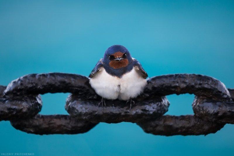 ласточка, птицы, путешествия Ласточка на борту барка \