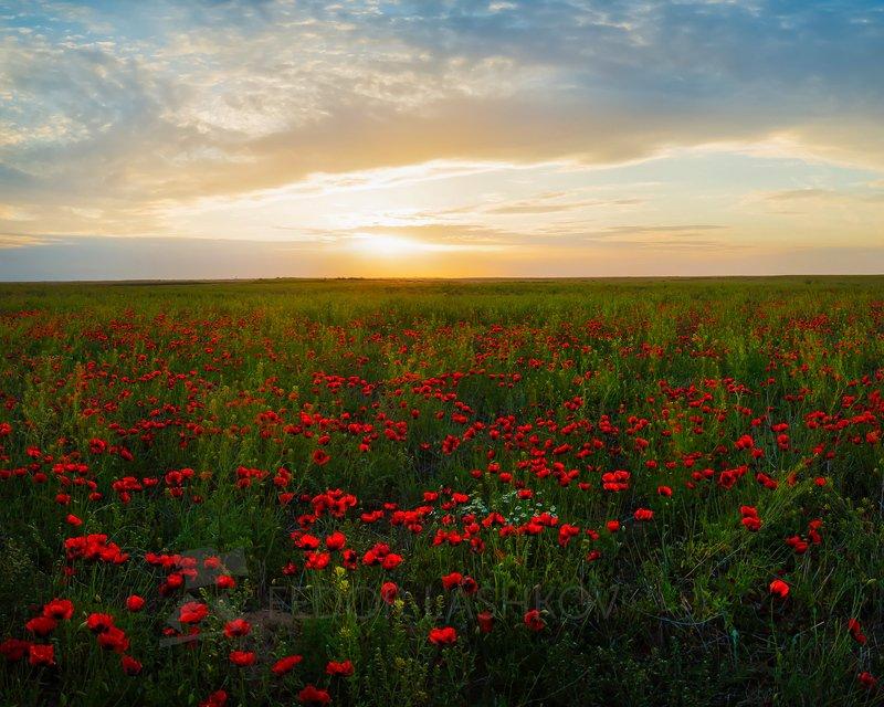 мак, маки, степь, астраханская область, закат, растение, луг, облака, солнце, степное, цветущее, весна, Маки в степиphoto preview