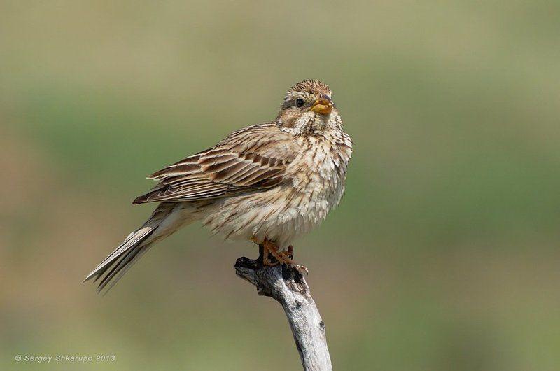 просянка, птицы, крым, фотоохота, wildlife Просянкаphoto preview