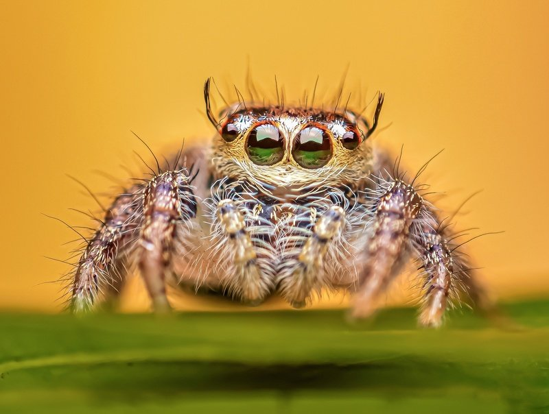 macro wildlife closeup insects spiders Portrait of Hylius so.photo preview