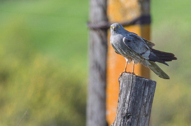 птица хищник луговой лунь Луньphoto preview